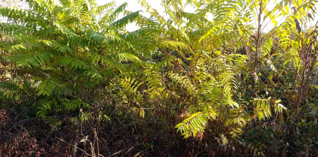 Coupe et évacuation des espèces invasives